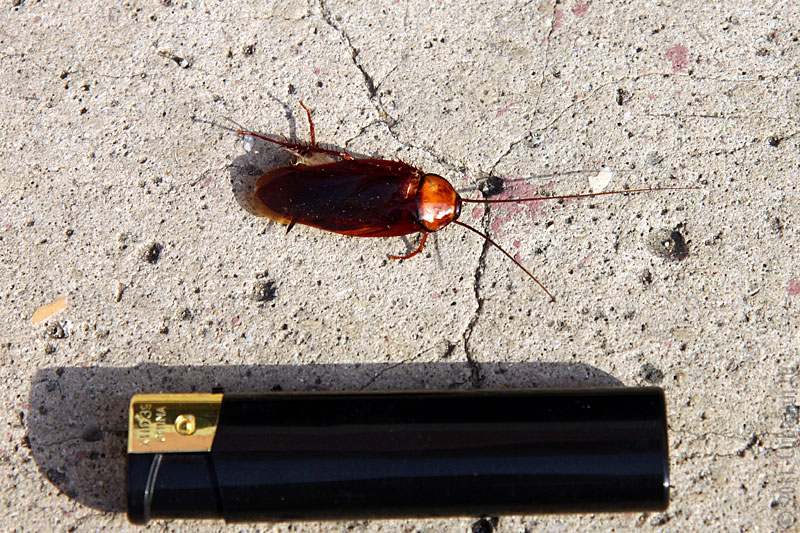 Американский таракан на Кубе: размер — половина зажигалки.