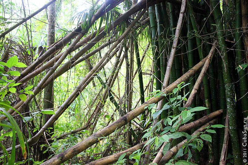Бамбуковая роща в горах Кубы.