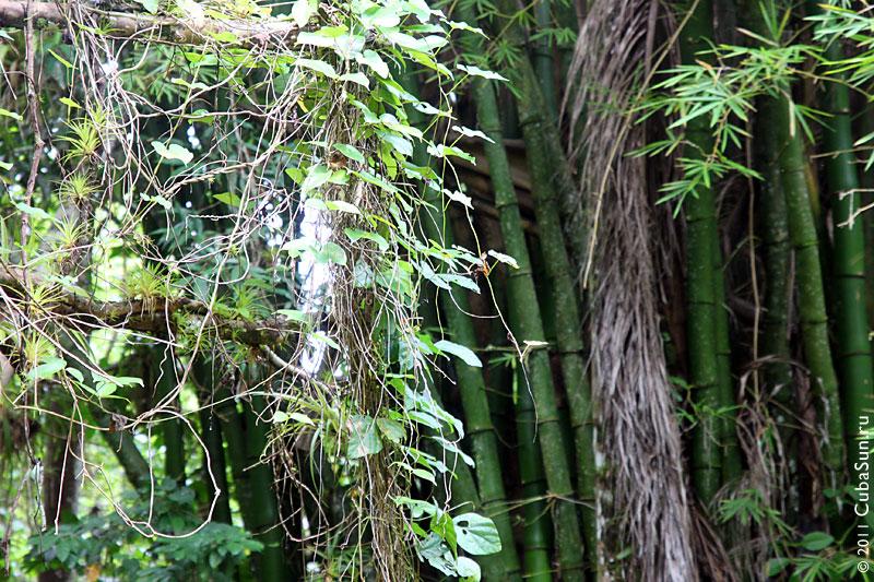 Бамбуковая роща на Кубе.