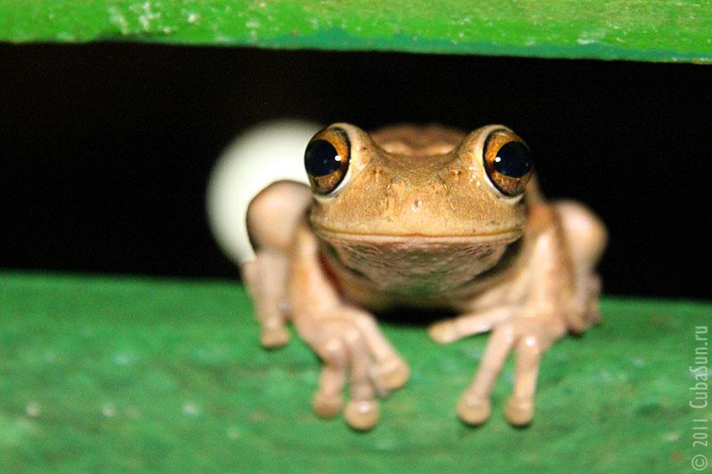 Кубинская древесная лягушка.