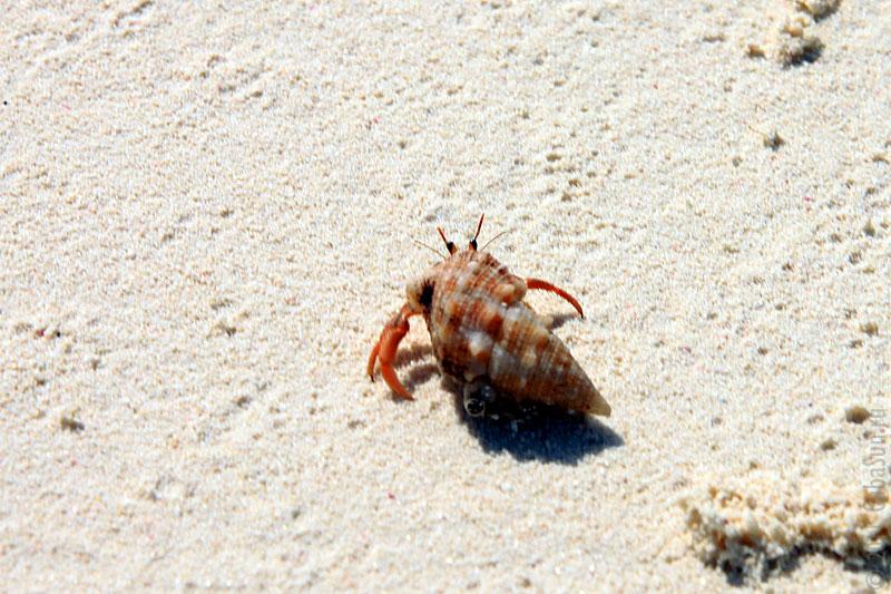 Крабик на берегу Карибского моря.