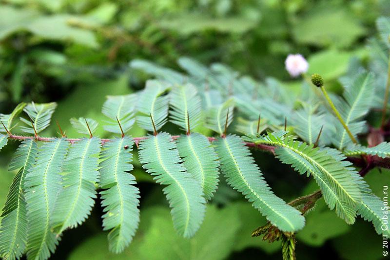 Другая акация, листья которой похожи на мимозу.